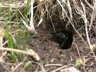 Field cricket (Gryllus campestris) in burrow