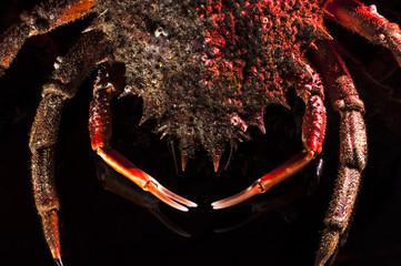 Claw, shell, spine, leg, European spider crab, shellfish, orange