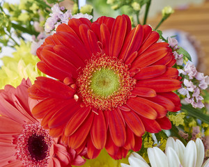 vibrant red Gerber daisy flower closeup