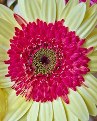 pale yellow and red Gerber daisy flower closeup