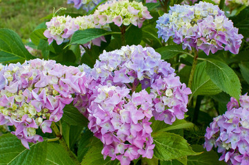 bush of a pink and purple hydrangea flowers