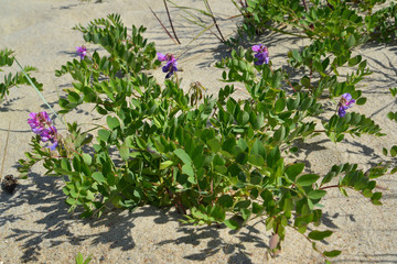 Blossoming ranks seaside (Lathyrus maritimus L. )