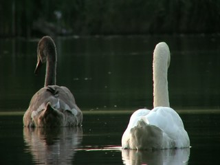 The Mute Swan (Cygnus olor) at sunset