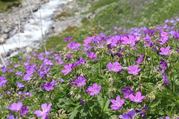 Geranium pratense - Wiesen-Storchschnabel