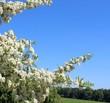 canvas print picture - feuerdorn in der blüte