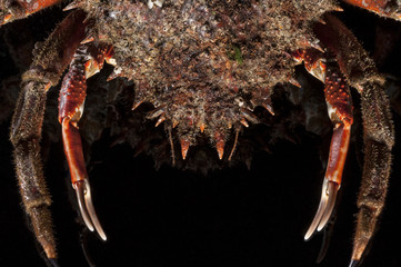 Claw, shell, spine, leg, European spider crab, black, shellfish,