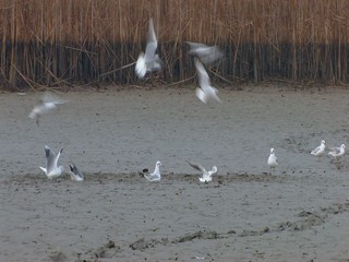 Black-headed gulls (Larus ridibundus)
