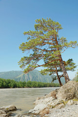 Beautiful summer landscape with pine tree on the river bank