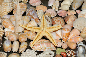 Sea star and various shells