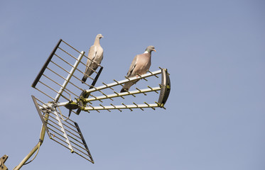 Pair of Woodpigeons resting on a tv aerial