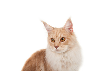Red Maine coon portrait