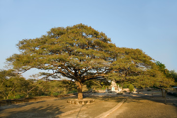 old big  green tree with small pagoda at summer time