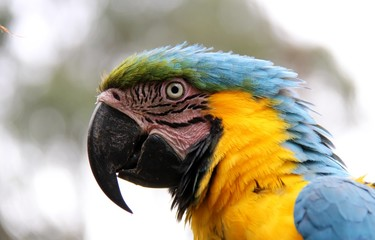 Macaw Head shot