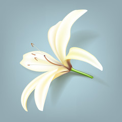 Realistic lily flower. Vector illustration