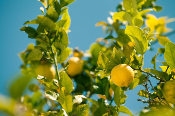 Lemon tree in Spain