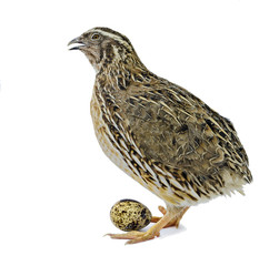 Adult quail with egg isolated on white background