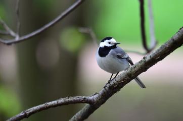 Трясогузка (лат. Motacilla) — певчая птичка