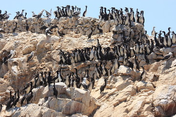 uccelli marini isole ballestas penisola di paracas perù
