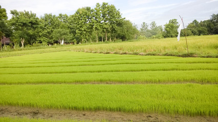 young  Young rice field