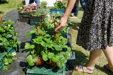 Hand take strawberry seedling plants in pots