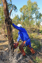 Man with chainsaw cutting down eucalyptus