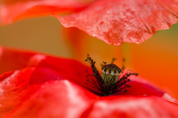 Red poppy detail