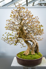 bonsai tree Acer Buergerianum