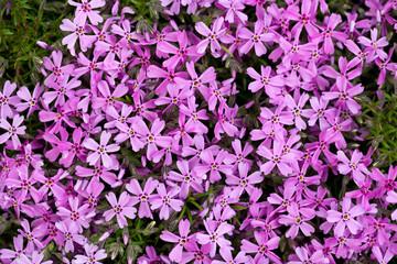 Aubrieta cultorum - pink or purple small flowers