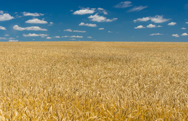Ukrainian summer landscape with wheat field and blue sky