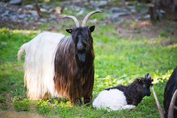 Alpen hairy goats