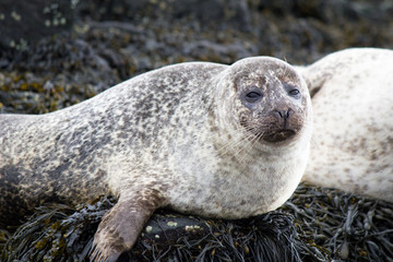 Common Seal or Harbour Seal