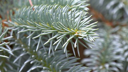 Closer look of Picea Pungens or Blue Spruce GH4 4K