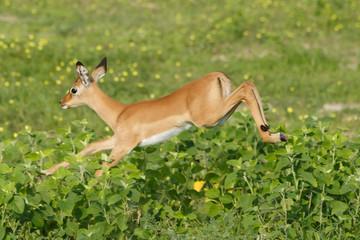 Impala springt