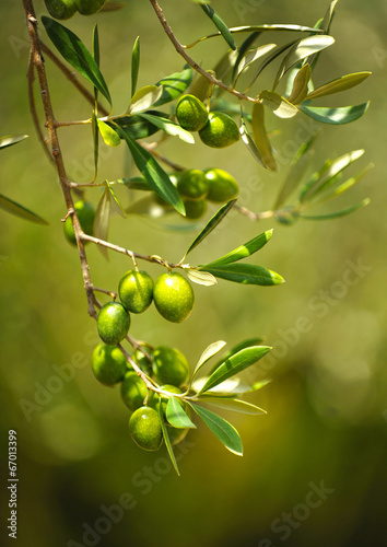 Plexiglas Olijfboom Olive tree with olives