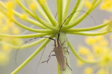Longhorn beetle insect on green plant stem