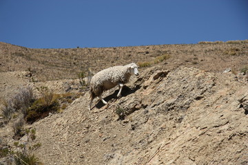 Sheep climbing the rock in the mountain of Andes