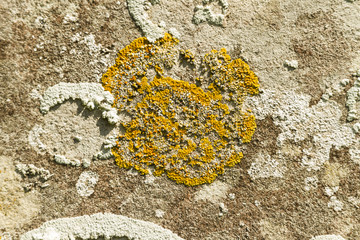 Yellow scale lichen, Xanthoria parietina, growing on an old grav