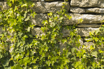 Ivy growing on dry stone limestone wall, Hedera helix.