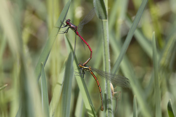 Red damselfly mating