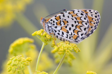 Orange and white butterfly resting on yellow flower