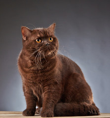 Brown british shorthair cat