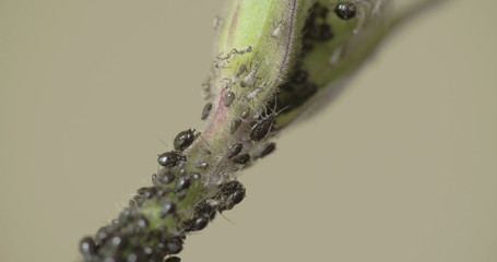 An aphid crawling on the stem FS700  4K RAW odyssey 7Q