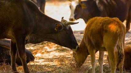 Cow licking a calf. HD 1080.