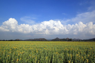 beautiful clouds over the sunflower field