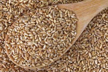 A wooden spoon full of grains - Wheat Berries