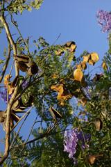 Southern California Blue Jacaranda Seed Pods