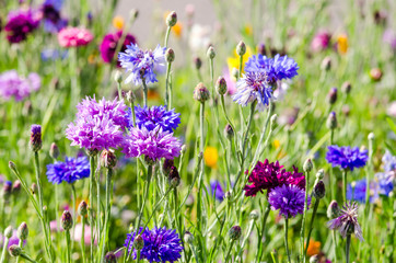 Summer: Meadow with colorful cornflowers :)
