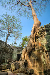 Giant tree covering stones of the ancient Ta Prohm temple at Ang