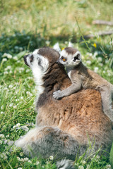 Lemur and baby lemur