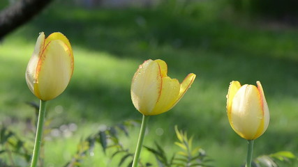 Three yellow tulip flower buds bloom and morning dew water drops